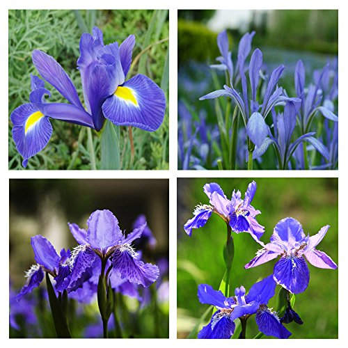Bluish Violet Iris Flower Seeds Garden Balcony Perennial Herb Ornamental Plant 100pcs (Snoop Dog Pen Herbal Vaporizer compare prices)