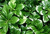 "Japanese Spurge 24 Plants - Pachysandra - Hardy Groundcover - 2 1/4"" Pot"