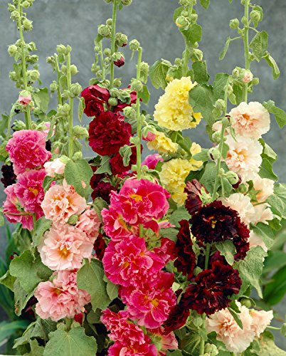 "Hollyhock ""Summer Carnival Mix"" Seeds"