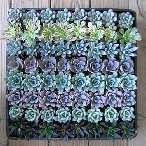 64 Beautiful Rosette Only Succulents: Wedding Collection Party/Shower Favors