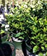 Dwarf Campbell Valencia Orange Tree -- 12 by 12 Inch Container Bush Form by Monrovia Growers