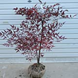 庭木:南天(赤) H:約50cm