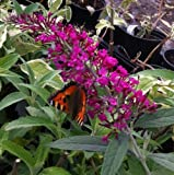 Pack of 3 Buddleia davidii Royal Red Shrub in a 9cm Pot - Butterfly Plants - Garden Plants