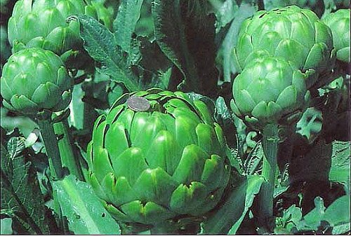 Imperial Star Artichoke Plants