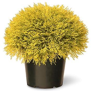 National Tree 15 Inch Golden Juniper Artificial Bush in Green Pot (LCBG4-700-15-1)