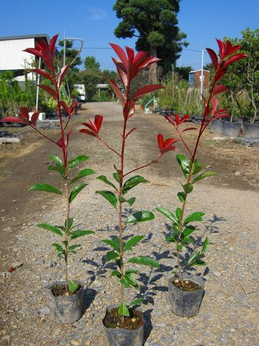 レッドロビン 樹高0.5m前後♪生垣に人気の樹木 (ベニカナメ)