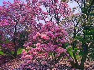 Amazon Com Magnolia Stellata Susan Purple Red White