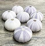Sea Urchin | 8 Purple Sea Urchin Shell |8 Purple Sea Urchin Shells for Craft and Decor | Nautical Crush Trading TM