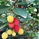 Marina Strawberry Tree - Arbutus - Outdoors/Edible/Bonsai - 2.5