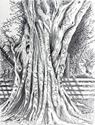 Banyan Centurian, Archival Print of Pencil Drawing, 10 X 13 Inches