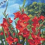 Glaïeul nanus Mirella - 10 bulbes de fleurs