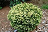 9cm Pot Dwarf Conifer Cryptomeria Japonica Vilmoriniana Dense, Globe Like Bush