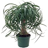 Brussel's Bonsai DT-PTP6 Guatemalan Red Ponytail Palm - Beaucarnea - 6