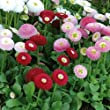 Bellis Bellissima Plant in Mixed Colours. 12 Garden Ready Plant. English Daisy