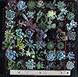 20 Gorgeous Succulents in 2&quot; plastic pots
