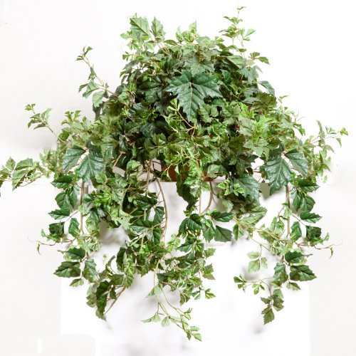 Danica Ivy Vine Mounted in Pot (pot style may vary), 41 Inches Long