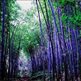 Yinpinxinmao 100x Bamboo Seeds Black Purple Green Phyllostachys Pubescens Plants (Purple)
