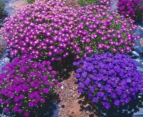brachycome-iberidifolia-mixed-2500-seeds-swan-river-daisy-brachyscome