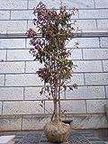 常緑ヤマボウシ ホンコンエンシス 月光 株立ち 樹高2.0m前後 (根鉢含まず)