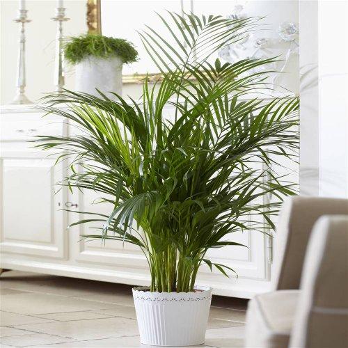 wohnzimmer palme pflege:Kentia Palme kaufen und Pflege-Tipps
