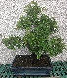Chinesische Ulme Bonsai Ca. 20years Orientalisch Pflanzen Koi Feng Shui