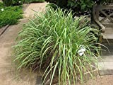Seedlings india Lemon Grass Herbal & Medicinal live plant