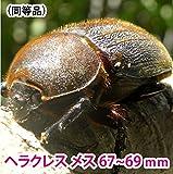むしや本舗 ヘラクレスオオカブト成虫 メス(ヘラクレスヘラクレス) 67~66mm [生体]