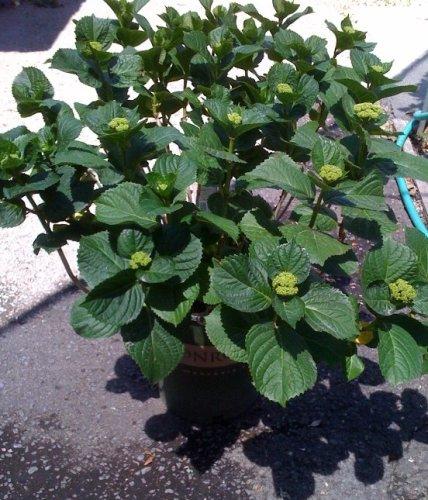Penny Mac Hydrangea Plant Five Gallon