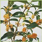 金木犀(キンモクセイ)の苗木