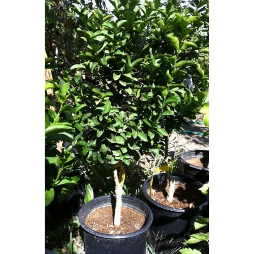 or Mexican Lime Tree, Five Gallon : Tree Plants : Patio, Lawn & Garden