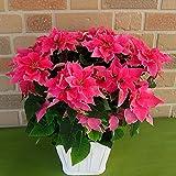 サントリーのプリンセチア新品種八重咲き・ローザ 5号鉢カバー付き