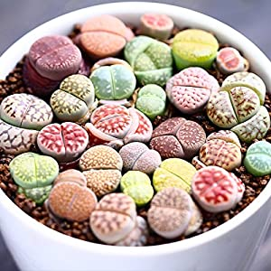 Live Fat Succulent Plant Mini Succulents Colorful Lithops Grow Fast 10 PCS Collection (0.15~ 0.3 Bare Root)