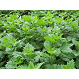 Seeds of Nettle - Urtica Dioica - 3.50 Oz Pack
