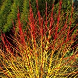Dogwood - Cornus Sanguinea - 1 Pkt of 25 seeds - Ornamental Shrub - Berries