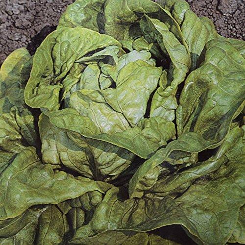 Laitue pommée Kagraner - 1 sac de graine