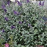 Sommerflieder Empire Blue blau blühend