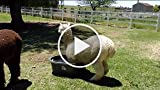 Alpaca Tries to Swim in a Tiny Tub