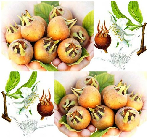 4 Packs X 20 Medlar - Showy Mespilus - Mespilus Germanica - Tree Seeds - Apple Butter Tasting Fruits - Zone 6+ - By Myseeds.Co