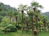 Hemp palm (Naini) - 20 x Trachycarpus fortunei seeds (Naini Tal) - hardy extreme -