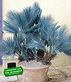 BALDUR-Garten Winterharte Blaue Zwerg-Palmen