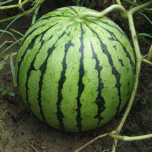 las-semillas-raras-purpura-carne-de-sandia-semillas-de-super-big-water-melon-en-casa-y-jardin-5pcs-l