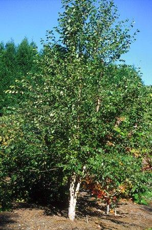 River Birch 15 Seeds - Betula - Shrubs/Trees