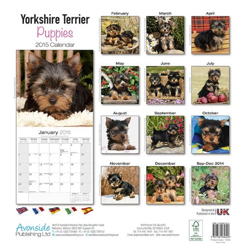 Yorkshire Terrier Puppies 2015