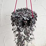 ハートカズラ(セロペギア・ウッディ):レディハート6号吊鉢長さ約1m