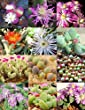 Gibbaeum Mix, Succulent Cactus Mixed Living Stones Rocks Plant Seed -15 Seeds