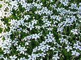 Isotoma fluviatilis, Laurentia, Blue star creeper - 1 plant