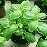 2000pcs Sweet Basil Seeds Herb Flower House Garden