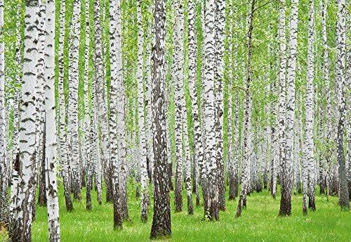carta-da-parati-fotografica-carta-da-parati-murale-bosco-betulla-157-sfondo-blu-carta-254-cm-largo-x