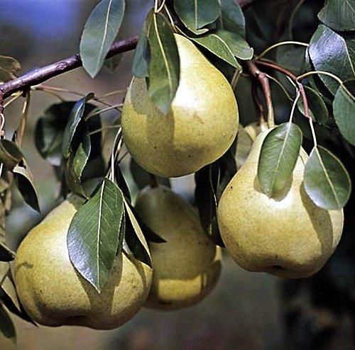 European Pear Tree 10 Seeds - Pyrus communis - Tasty!