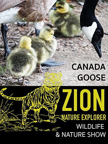 Canada goose on Zion Nature Explorer, Wildlife and Nature show